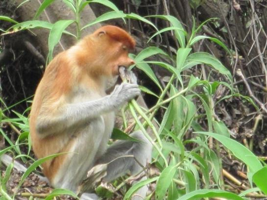 Kalimantan Orang Utan